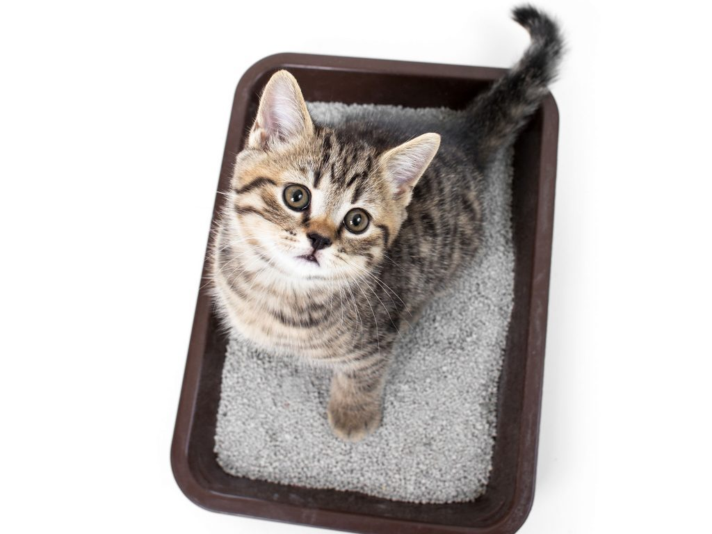 Kitten in cat litter box