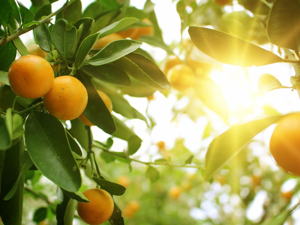 Oranges in an orange grove
