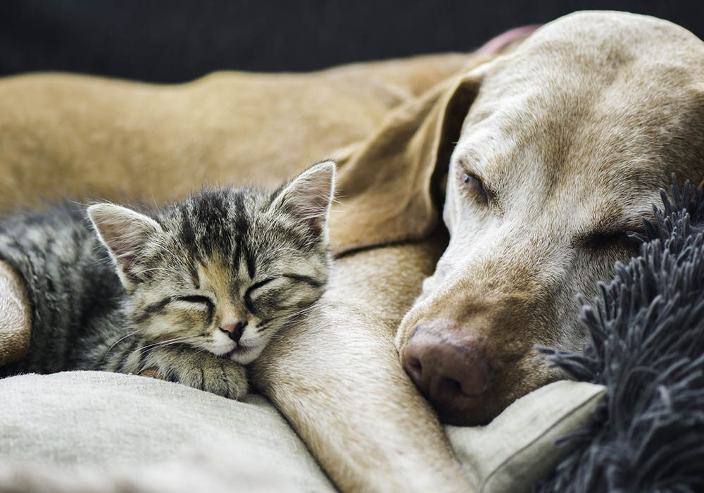 Cat and dog sleeping on couch