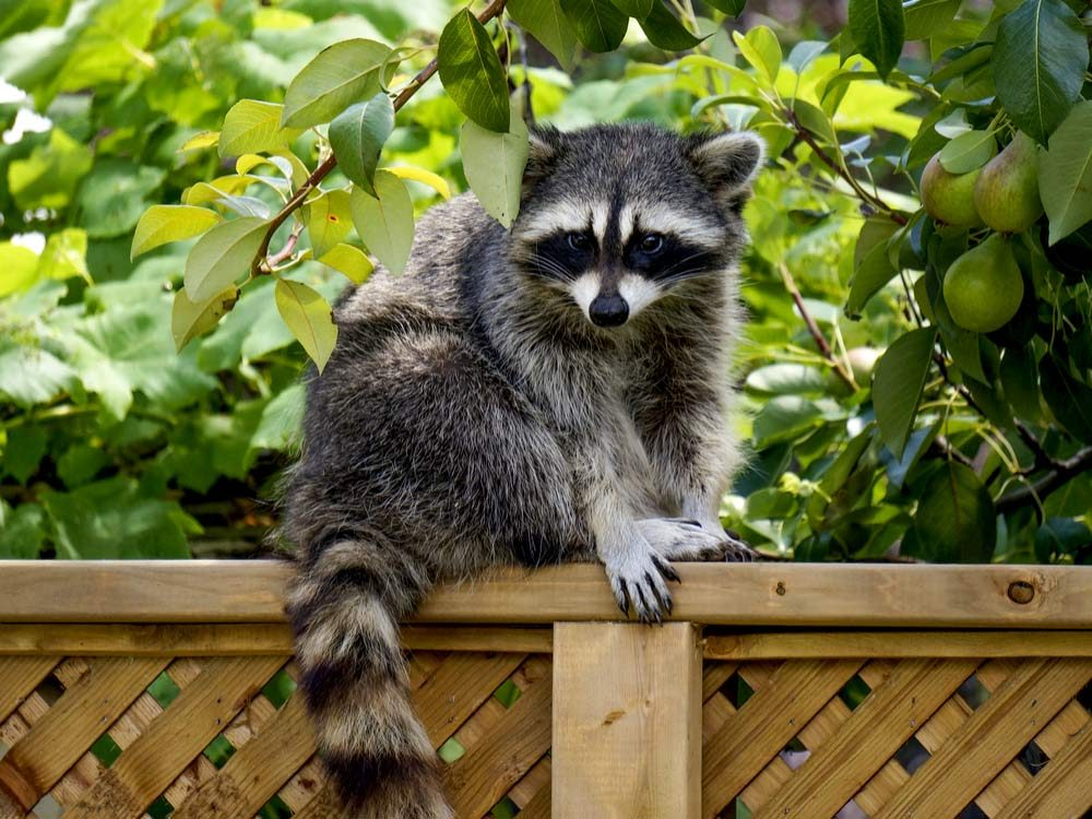 Raccoon in garden