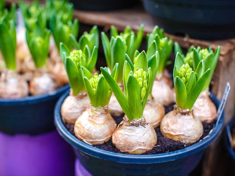 Flower bulbs in market