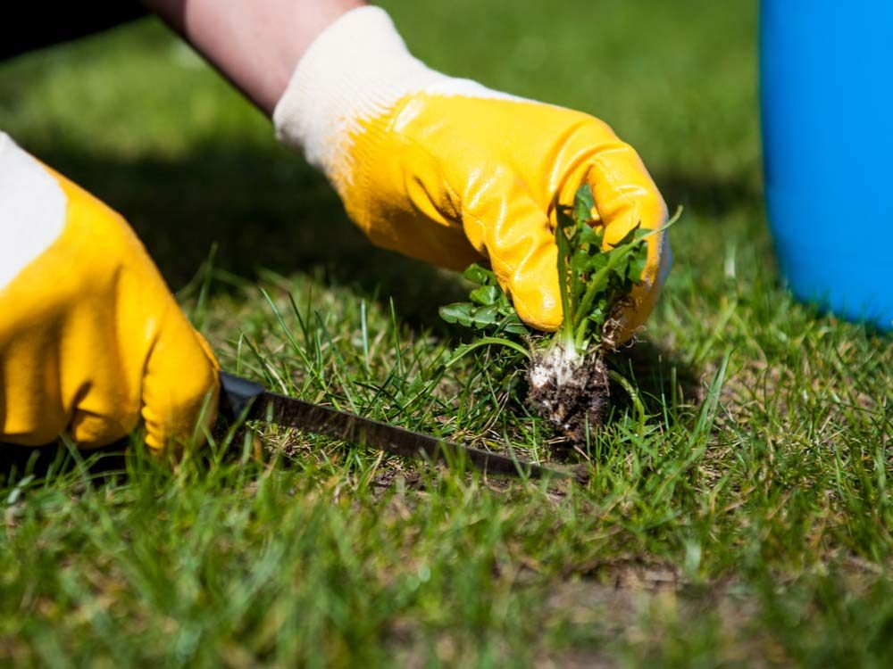 Taking out weed on lawn