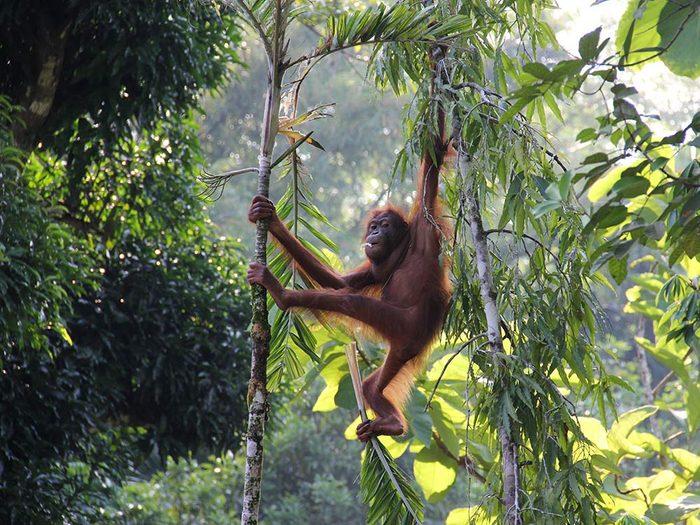 Orangutan in Malaysian Borneo