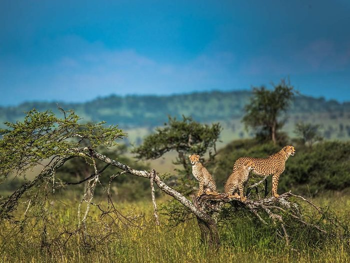 Cheetahs on plains of the Serengeti in Tanzania