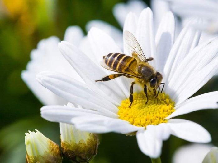 Bee on single daisy flower