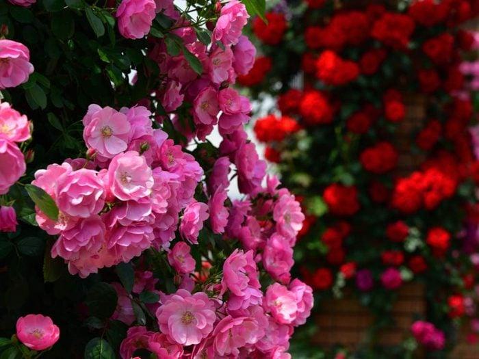 Climbing rose flowers