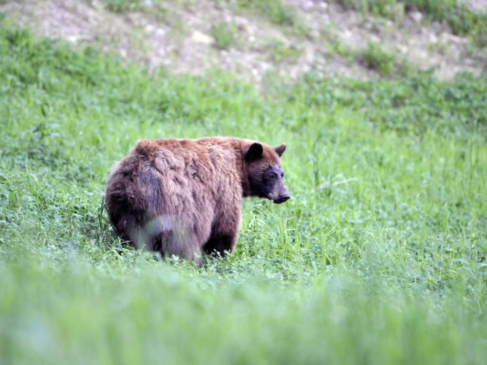 Black bear on Whistler Mountain
