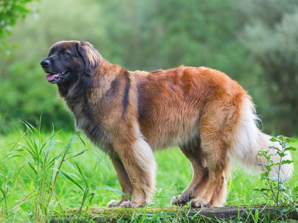 Leoonberger dog