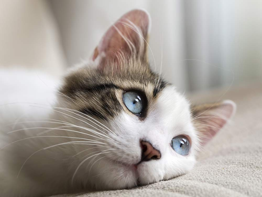 Cat with blue eyes looking out of the window
