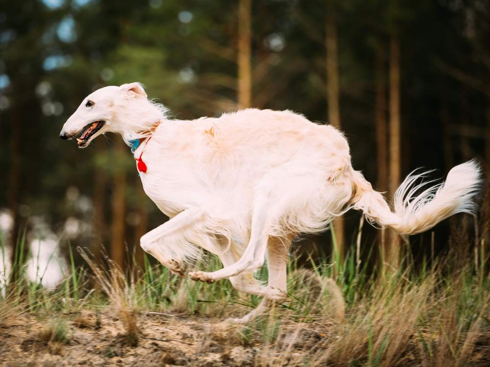 The Borzoi is one of the least intelligent dog breeds