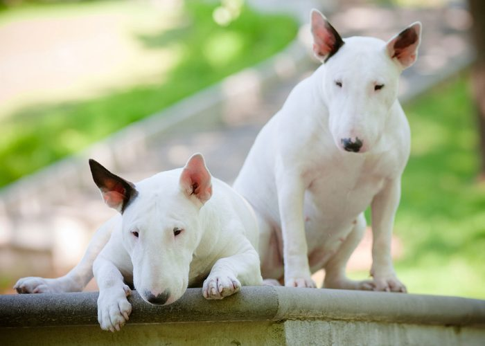 Two english bull terriers