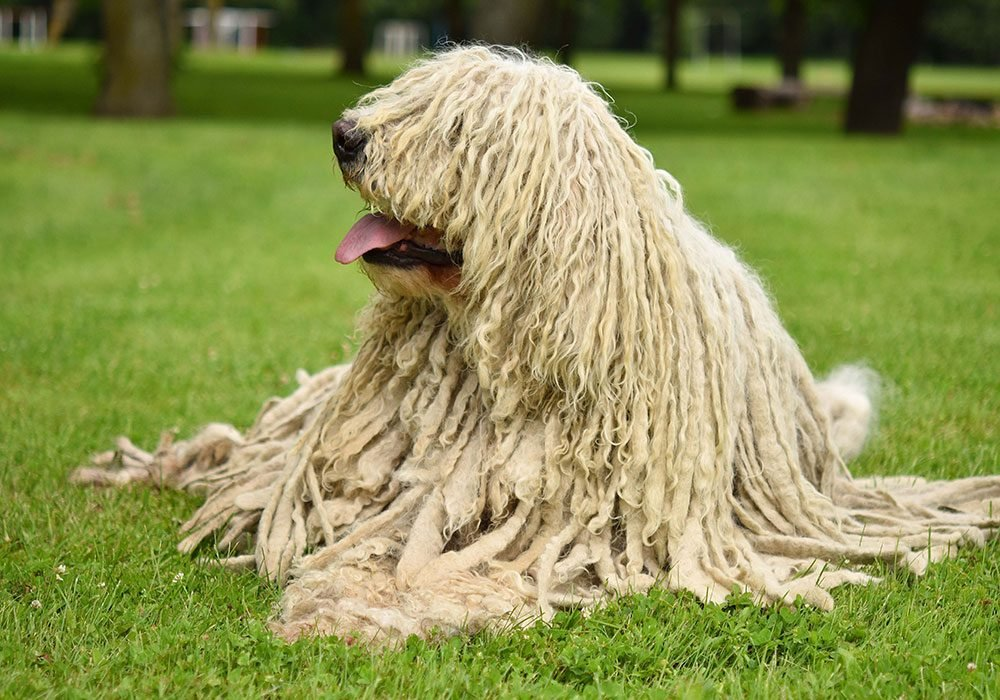 komondor-strangest-looking-dog-breeds