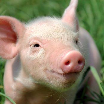 Hero Pets: The Calming Piggy