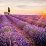 5 Ways to Heal with Lavender