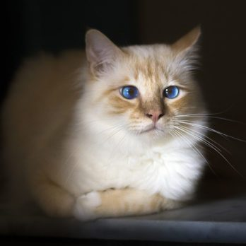 Which Cat Breed is Right for Me?