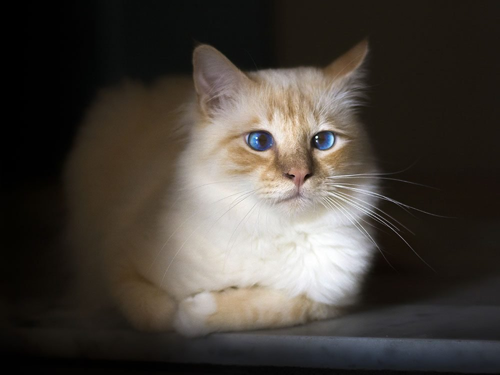 Birman cat with blue eyes