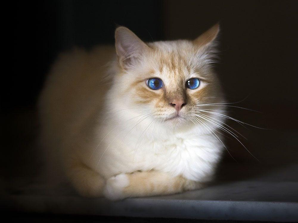 Birman cat with blue eyes