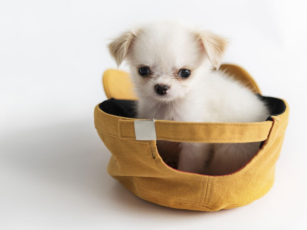 Chihuahua in a hat