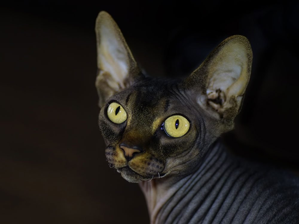 sphynx-cat-breed