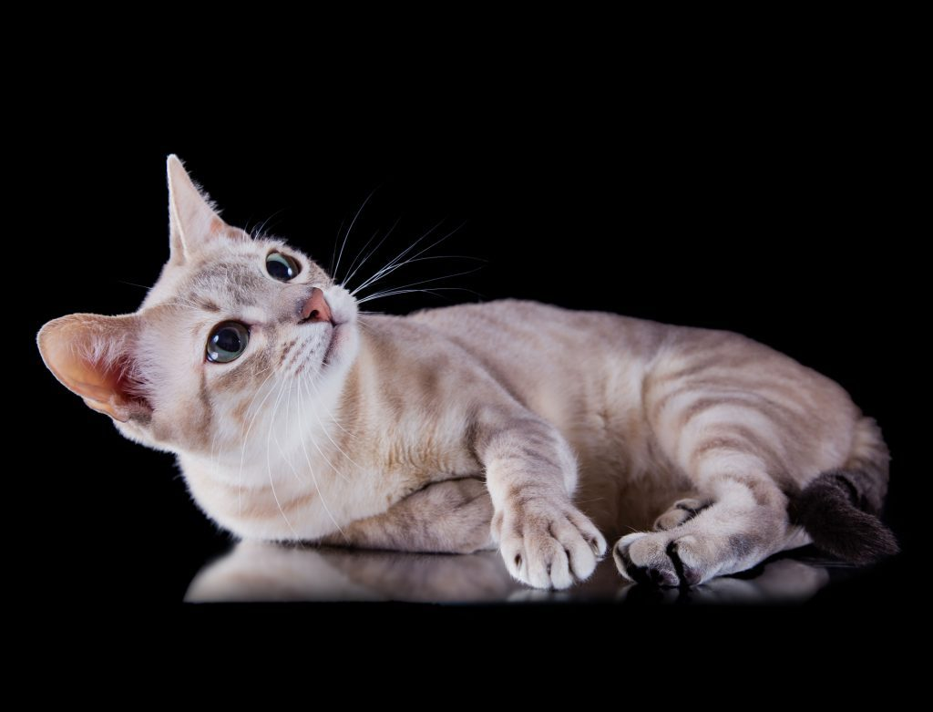 Which Cat Breed is Right for Me