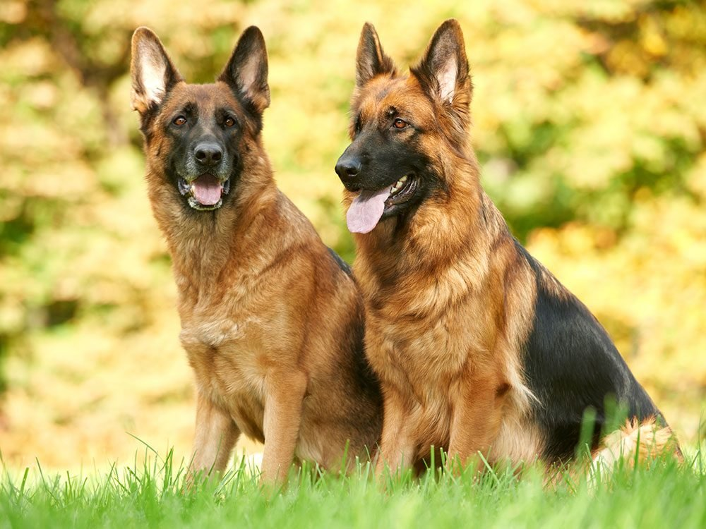 german-shepherd-most-popular-dog-breeds