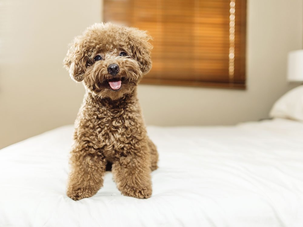 Poodle puppy on bed
