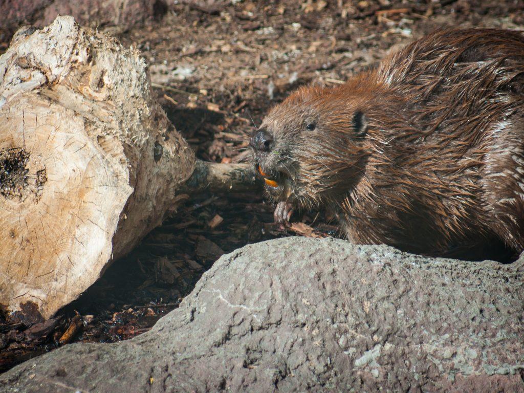A beaver creating a dam