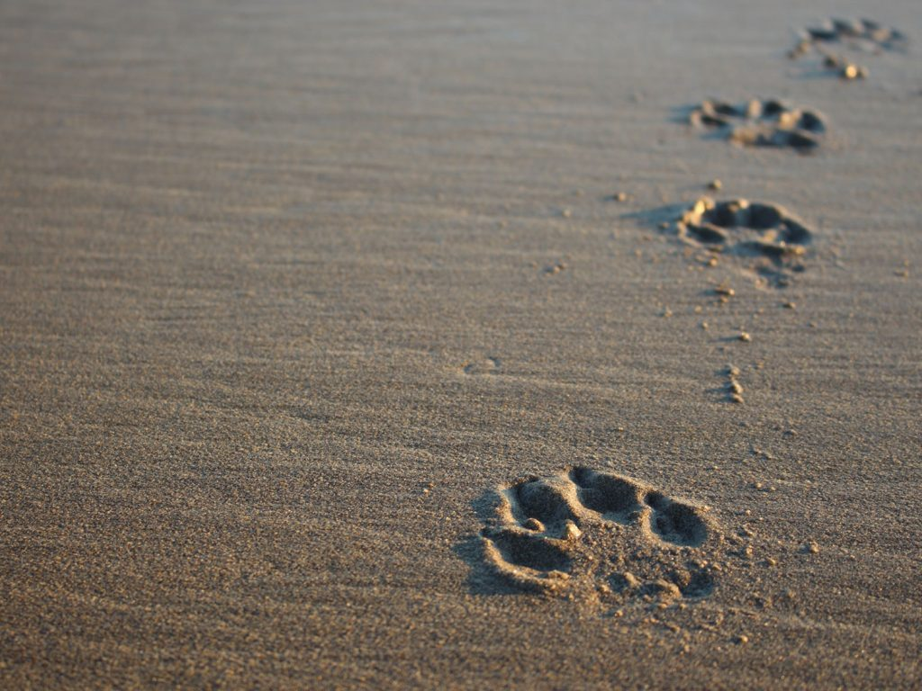 Dog paw prints on the beach
