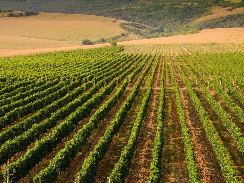 Vineyard in Bulgaria