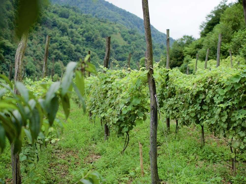 Vineyard in the Republic of Georgia