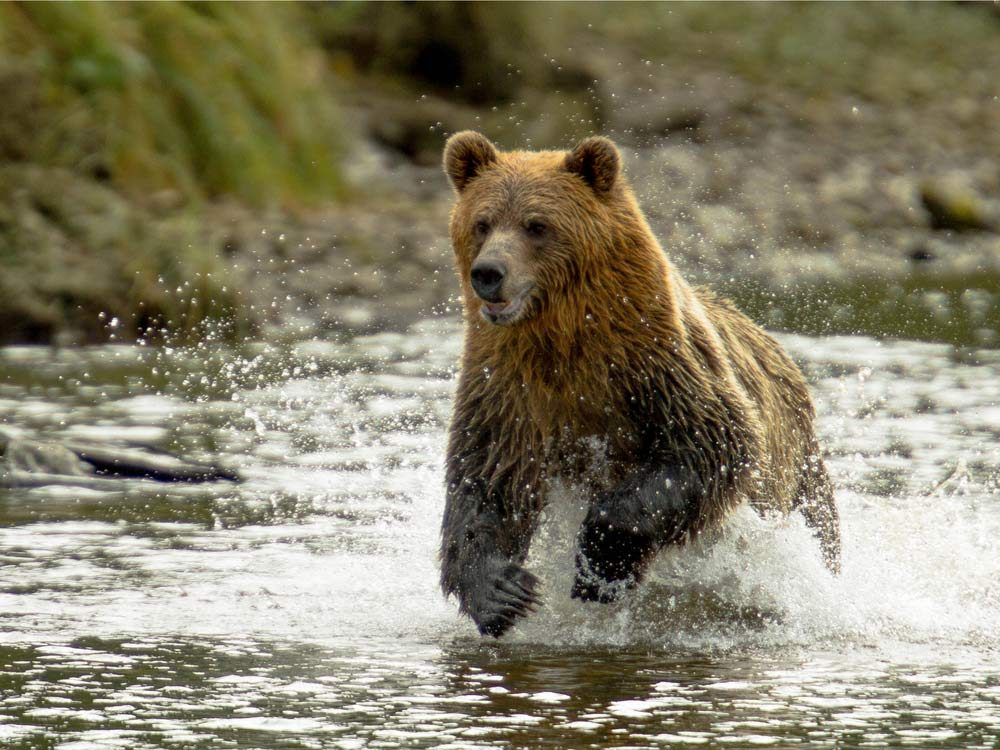 Khutzeymateen Grizzly Bear Sanctuary, British Columbia