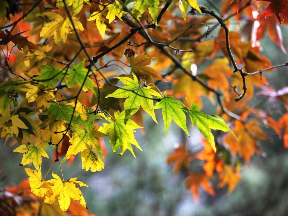 Autumn leaves in Queen Elizabeth Park, British Columbia