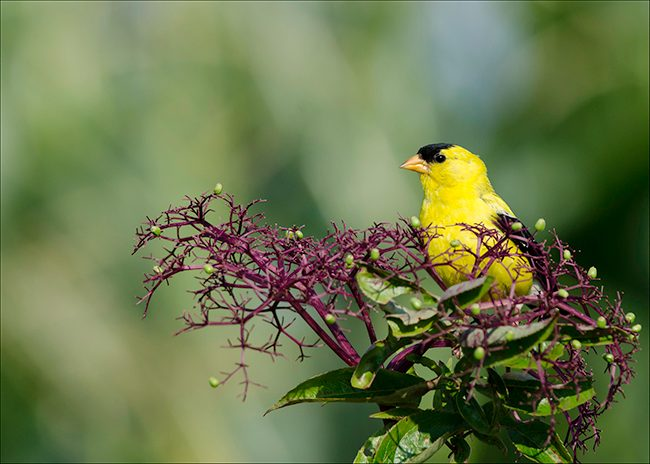 american_goldfinch_in_the_elderberries_jenstlouis