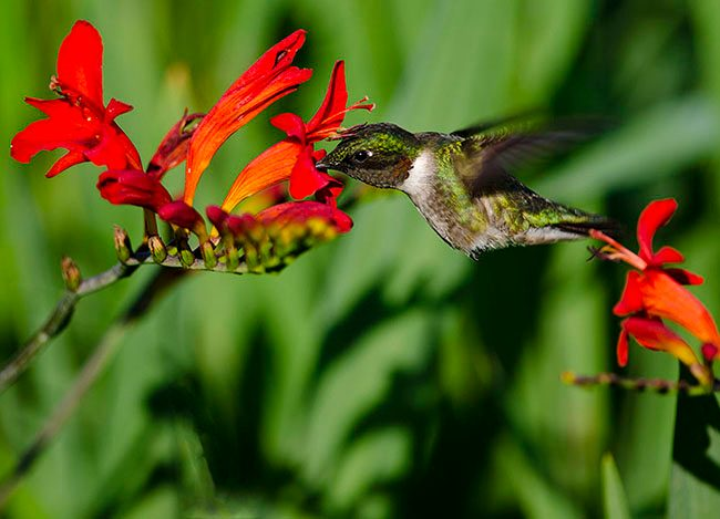 male_hummingbird_jenstlouis