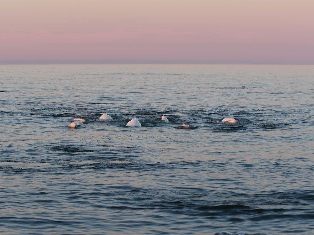Snorkel with belugas in Manitoba, Canada