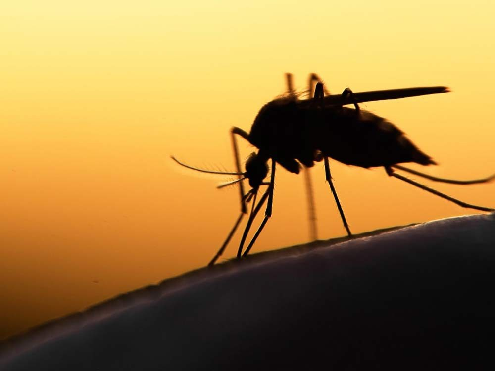 Silhouette of mosquito