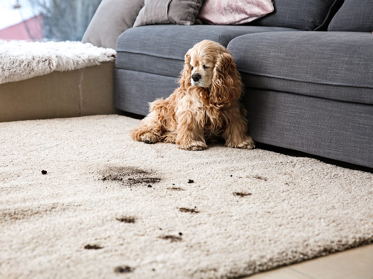 Things to do with toothpaste - dog paw prints stained carpet
