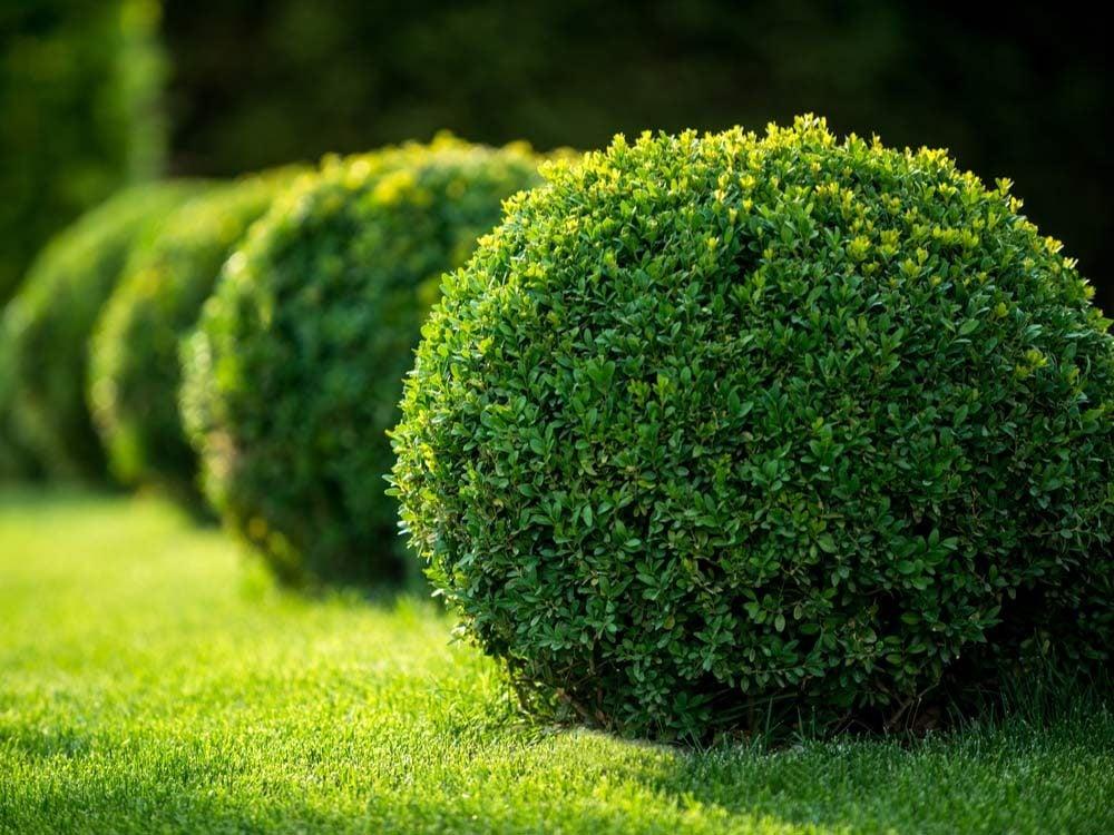 Garden shrub design
