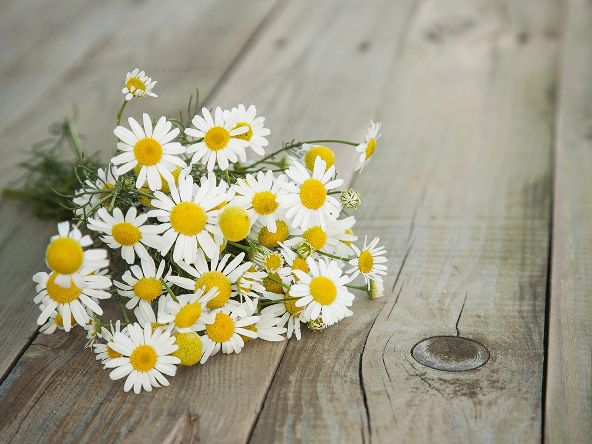 Medicinal plants to grow at home - chamomile