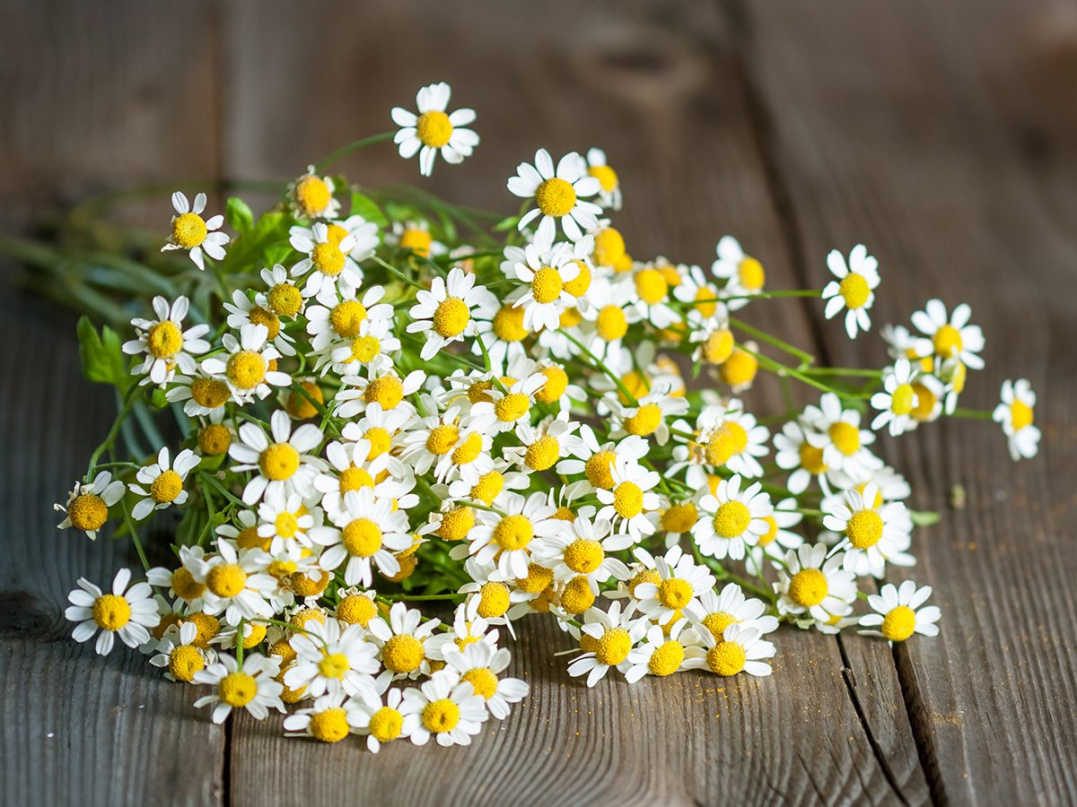 Medicinal plants to grow at home - feverfew
