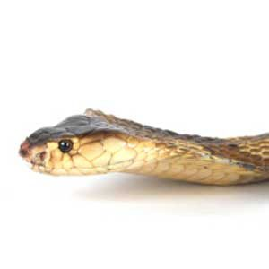 1. Pets From Around the World: Cobras