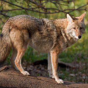 1. Coyotes