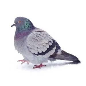 6. Uncommon Pets: Pigeons