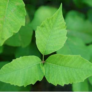 4. Dry Poison Ivy Rash