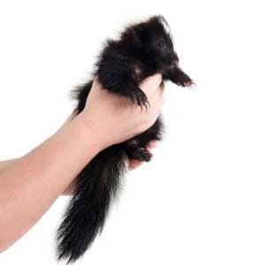 2. Pets From Around the World: Skunks