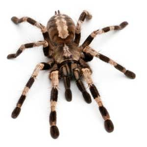 3. Pets From Around the World: Tarantulas