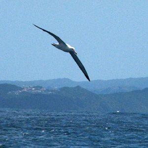 Coolest birds #2: Royal albatross