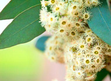 2. Eucalyptus