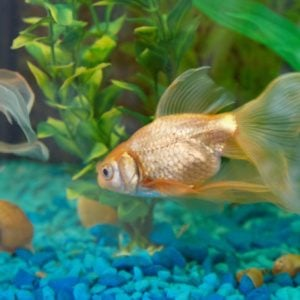 how to take care of a carnival goldfish