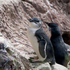 Coolest birds #3: Blue penguin